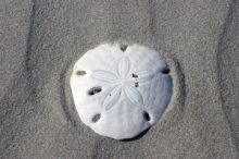 Pansy shells can be found on the beach at Plettenberg Bay